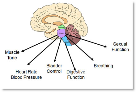 Brainstem Controls